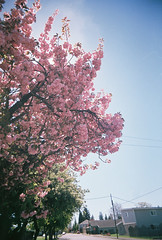 Pink Poof Porn (Andrea M Beck) Tags: trees sky sun film clouds analog cherry spring lomography toycamera wideangle lensflare pointandshoot cherryblossoms ornamental plasticcamera pointandclick superheadz ultrawideandslim blackdevil wideandslim