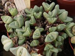 Argyroderma framesii ssp. hallii (juan_y_ana) Tags: ssp argyroderma hallii framesii