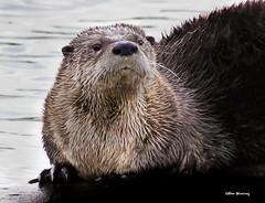 River Otter 5835 (Ethan.Winning) Tags: northerncalifornia sacramentoriverdelta femaleotter wildriverotter northamericamammals dailynaturetnc14 ethanwinning walnutcreekopenspaceponds