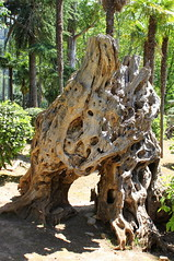 Strange shaped roots (Graham`s pics) Tags: tree roots root gspiccies