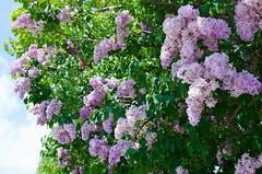 Odori Park (ELCAN KE-7A) Tags: park sapporo hokkaido pentax lilac    odori 2015    k5s