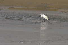 kleine zilverreiger / white egret ( baie de canche - france ) (nature photography by 3620ronny.be) Tags: france nature birds strand canon natuur frankrijk whiteegret stranden vogel baai naturephotography natuurfotografie kleinezilverreiger canon7d 3620ronny canonef300mmlf4 baiedecanchefrance