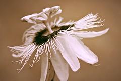 Flower of passion (Deb Jones1) Tags: flowers flower macro nature floral beauty sepia canon garden botanical outdoors flora bloom passionflower debjones1