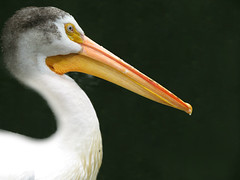 The American white pelican (Pelecanus erythrorhynchos) (Mel's Looking Glass) Tags: white pelican american the pelecanus erythrorhynchos