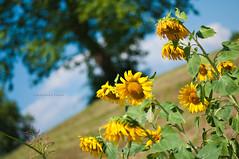 La giornata pi brutta di sempre? (Barbara Fi@re) Tags: up alberi day down giallo cielo sole upup girasole