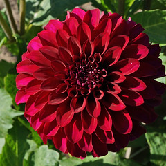 As Red as a Ruby (charlottes flowers) Tags: sanfrancisco goldengatepark dahlia red dahliagarden woodlandsmerindadahlia