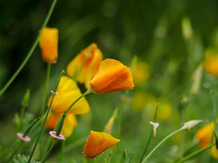 Goldmohn oder auch Kalifornischer Mohn (mohnblume2013) Tags: gelb mohnblumen