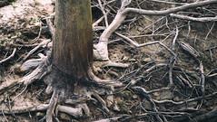Tree Roots (MoniLizar) Tags: tree buffalo roots bayou