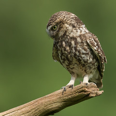 LO on a Stick (Mr F1) Tags: cute bird eyes branch lo stick birdsofprey bop littleowl athenenoctua johnfanning perchwild