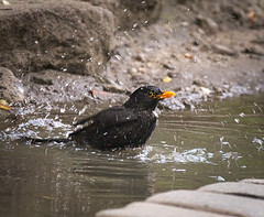 Bathing blackbird (hedera.baltica) Tags: blackbird commonblackbird eurasianblackbird kos koszwyczajny turdusmerula