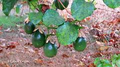 Passion fruit ( Graa Vargas ) Tags: passionflower flordemaracuj passifloracaerulea passiflora flower graavargas2016allrightsreserved fruit fruta graavargas 13002030816