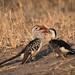 Northern Red-billed Hornbills