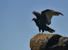 turkey vulture 3 (mysticislandphoto) Tags: wildlife birds vulture turkey vancouver island