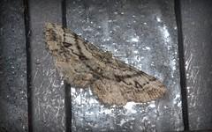'Hypomecis' curtaria (dustaway) Tags: arthropoda insecta lepidoptera geometridae ennominae hypomeciscurtaria australianmoths lismore nature northernrivers nsw australia australianinsects