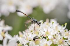 Carrot wasp (Gasteruption jaculator) (stephensmith54831) Tags: macro wasp hymenoptera sbr200 tokina100mm gasteruptiidae gasteruptionjaculator d7000 carrotwasp
