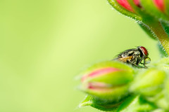 A fly (Yovel Rodoy) Tags: macro nature garden israel fly nikon 105 d7100 macroforeveryone