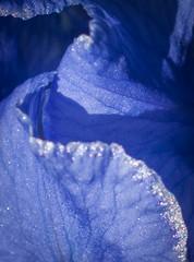 Petal Surfing (Katrina Wright) Tags: dsc7040 iris petal blue purple macro texture