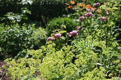 ckuchem-3588 (christine_kuchem) Tags: rose rosa garten vorgarten taglilien frauenmantel staude sommerblumen naturgarten ziergarten landhausgarten biogarten privatgarten gartenstaude