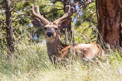 July 16, 2016 - A Mule Deer buck at Mueller State Park. (Tony's Takes)