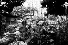 Hydrangeas & Garden Paths 3 (LongInt57) Tags: hydrangea flower blossom bloom leaf leaves garden shed trees bush nature bw monochrome black white grey gray kelowna bc canada okanagan trellis lavender