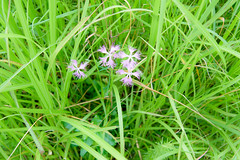 Tonomine Highland (anglo10) Tags:   japan   field flower