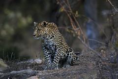 Leopard stare (crafty1tutu (Ann)) Tags: travel holiday southafrica africa 2016 animal leopard female motswariprivategamereserve wild free roamingfree inthewild crafty1tutu canon7dmkii ef100400mmf4556lisiiusm carnivore naturescarousel naturethroughthelens