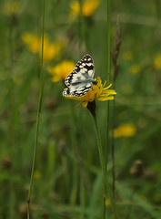 2016_06_0802 (petermit2) Tags: marbledwhitebutterfly marbledwhite butterfly brockadale northyorkshire yorkshire yorkshirewildlifetrust ywt wildlifetrusts wildlifetrust