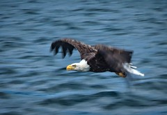 Bald Eagle Fishing the Cabot Strait (creditflats) Tags: baldeagle novascotia capebreton canada englishtown cabotstrait bird hunt fish ocean atlantic water waves flight soar talon eagle