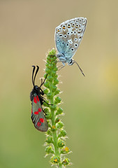 Common Blue and Six-spot Burnet moth (Alan MacKenzie) Tags: butterfly moth macro nature wildlife southdowns fristonforest meadow summer