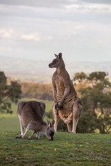 Back to nature (Draco13) Tags: victoria countrylife australia visitvictoria backtonature kangaroo