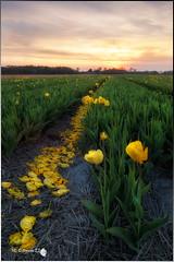 El camino (Caramad) Tags: rosa color sunset paisesbajos lisse jardin campo keukenhot holanda holland magenta tulipn tulip sol agricultura flower flor field