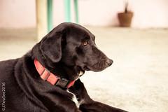 GAGA (EnJANEer) Tags: dog animals pet buddy bestfriend guardog labrador mixed askal sigma1750mm canon650d black fur