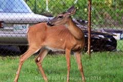 DSC_6871d (davids_studio) Tags: deer backyard city urban foraging sunday morning