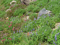 Wildflowers on Skyline Trail at Mt. Rainier NP in WA (Landscapes in The West) Tags: mtrainiernationalpark washington pacificnorthwest skylinetrail paradise wildflowers