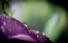 (Fay2603) Tags: schrfentiefe natur nature naturell lila purple violett rotviolett tropfen wassertropfen nass drop waterdrops flower leave bltenblatt macro hintergrund grn zartgrn hellgrn light green glas durchsichtig leuchten licht pastell fuji xt1
