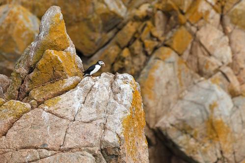 Macareux moine (Fratercula arctica)