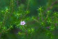 One (satochappy) Tags: hedge green purple small tiny one    sydney australia