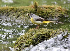 Grey Wagtail (Jeanni) Tags: greywagtail river nature outdoor nationaltrust motacillacinerea mayflies insect food green yellow grey water canon 60d tamron 150600mm