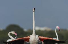 _NAT0905 (VictorD7000) Tags: flamencocomun phoenicopterusroseus nikond7200 sigma150600sport pnlagunasdelamatatorrevieja espaa alicante torrevieja lamata tumbing tumbihide birds birding birdwatching bao fauna faunaiberica flamencobaandose nature nikonnature aves
