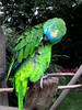 parrot (seelensturm) Tags: papagei papagayo loro ara guacamayos bird vogel green grün vogelpark heiligenkirchen detmold