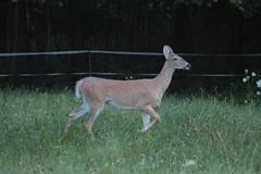 IMG_9653 (thinktank8326) Tags: deer whitetaileddeer fawn babydeer
