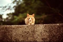 first time (sencharlie) Tags: orangetabby orangetabbycat straycat kitty ae1 canon film filmcamera