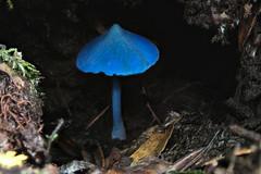 Entoloma hochstetteri, Mamaku Plateau, New Zealand (3 of 3) (brian nz) Tags: entoloma hochstetteri fungi fungus mushroom blue mamaku plateau rotorua district newzealand nz