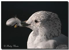Common Gull (Betty Vlasiu) Tags: common gull larus canus bird nature wildlife