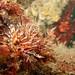 Dwarf lionfish - Dendrochirus brachypterus