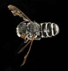 Megachile exilis, m, back, Pr. George's Co., MD_2016-03-15-23.48 (Sam Droege) Tags: zerenestacker stackshot geologicalsurvey unitedstatesgeologicalsurvey departmentoftheinterior droege biml beeinventoryandmonitoringlaboratory bug bugs canon closeup macro insect patuxentwildliferesearchcenter pwrc usgs dofstacking stacking canonmpe65 taxonomy:binomial=megachileexilis bee bees apoidea hymenoptera pollinator nativebee