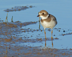 Semipalmated Plover (juvenile) (Keith Carlson) Tags: semipalmatedplover charadriussemipalmatus shorebirds plovers
