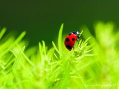 ( ()) Tags: olympus omd em1 m43 micro43 microfourthirds olympusem1   ladybug ladybird sigma 150mm macro bokeh sigma150mmmacro apo f28 sigmaapomacro150mmf28 sigmamacro150mmf28 150mmf28 sigma150mmf28 japan kyoto