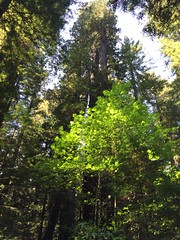 Avenue of the Giants - Wills RoadTrip 2From OLYMPIA SEPT 2016 (GCRad1) Tags: avenue giants wills roadtrip 2from olympia sept 2016