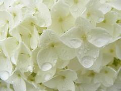 ** Aprs une douce pluie de mai ** (Impatience_1) Tags: flower fleur spring hydrangea printemps impatience hortensia coth hydrange 100commentgroup coth5 naturallywonderful